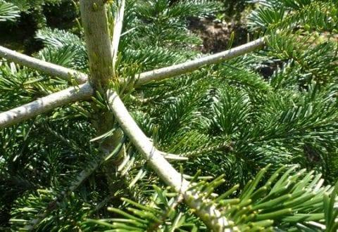 Forskere vil forhindre at dit juletræ taber nålene
