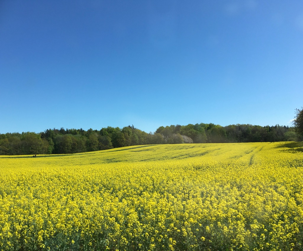 Blomstrende rapsmarker - send dit eget forårsbillede